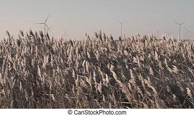 windmill., champ, windmills.