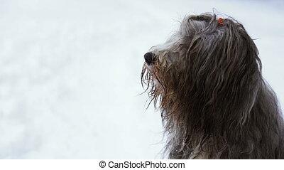 winter., neige, chien