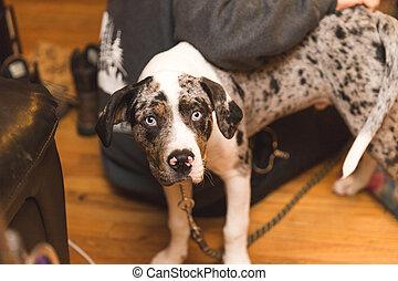 yeux bleus, chien, clair, chiot, mélangé-espèce