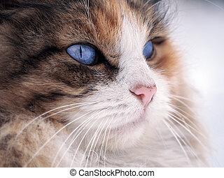 yeux bleus, haut, chat, clair, fin