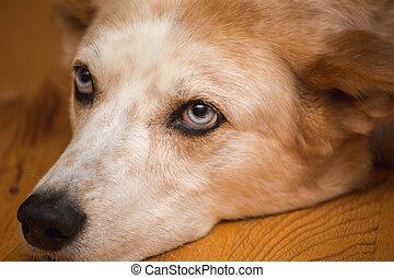 yeux bleus, percé, chien, clair