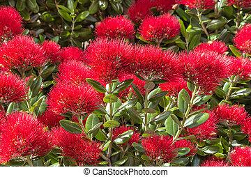 zélande, arbre, nouveau, fleurs, fleur, noël, rouges
