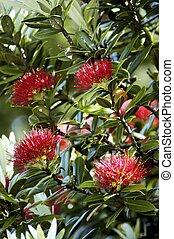 zélande, arbre, pohutuakawa, nouveau
