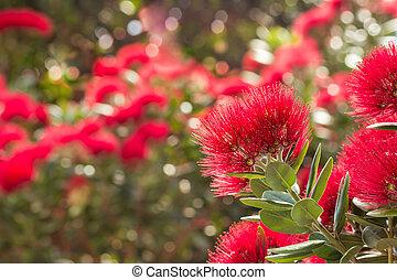zélande, arbre, -, pohutukawa, nouveau, fleurs, fleur, noël