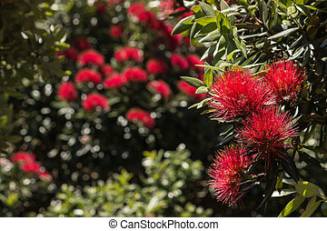 zélande, nouveau, fleurs, arbre, noël