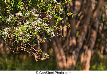 zélande, nouveau, manuka, arbre, fleur