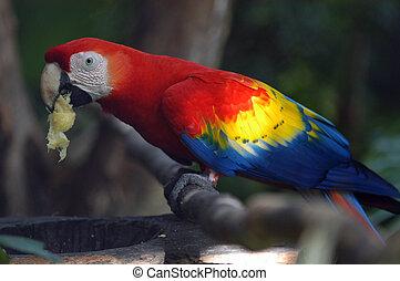 zoo, belize, manger, rouges, perroquet